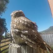 Little owl. Adult. Pakawau, Golden Bay, January 2020. Image © Jennifer Chapman by Jennifer Chapman