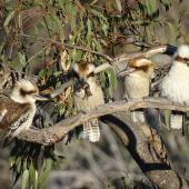 Laughing kookaburra. Family group. Adult (second left) eventually fed the Cunningham's skink to the begging juvenile (far right). Canberra, Australia, October 2017. Image © R.M. by R.M.