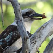 Laughing kookaburra. Adult with a beetle. Canberra, Australia, November 2018. Image © R.M. by R.M.
