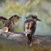 Laughing kookaburra. Two adults (possibly a pair). Yanchep National Park,  Western Australia, December 2015. Image © Marie-Louise Myburgh by Marie-Louise Myburgh