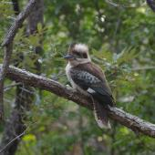 Laughing kookaburra. Perched adult turning head. Kinka Beach, Queensland. Image © Noel Knight by Noel Knight
