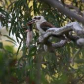 Laughing kookaburra. Adult carrying dead rodent. Kinka Beach, Queensland. Image © Noel Knight by Noel Knight