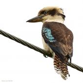 Laughing kookaburra. Adult on power line. near Warkworth, November 2017. Image © John and Melody Anderson, Wayfarer International Ltd by John and Melody Anderson Love our Birds® | www.wayfarerimages.co.nz