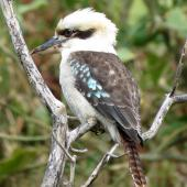Laughing kookaburra. Adult. Campbells Beach, Tawharanui, August 2016. Image © Scott Brooks (ourspot) by Scott Brooks