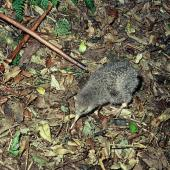 Little spotted kiwi. Chick feeding. Kapiti Island, February 1984. Image © Department of Conservation  by Jim Jolly, Department of Conservation  Courtesy of Department of Conservation