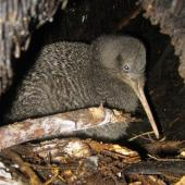 Little spotted kiwi. Female in burrow. Karori Sanctuary / Zealandia, August 2010. Image © Andrew Digby by Andrew Digby © Andrew Digbyhttp://photos.andrewdigby.com