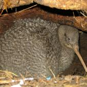Little spotted kiwi. Adult male in burrow. Red Mercury Island, March 2011. Image © Andrew Digby by Andrew Digby © Andrew Digbyhttp://photos.andrewdigby.com