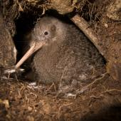 Little spotted kiwi. Adult male at burrow entrance. Long Island, Marlborough Sounds, November 2011. Image © Andrew Digby by Andrew Digby © Andrew Digbyhttp://photos.andrewdigby.com