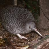 Little spotted kiwi. Adult. Kapiti Island, January 1989. Image © Colin Miskelly by Colin Miskelly