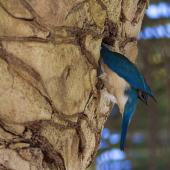Sacred kingfisher. Adult digging out nest in phoenix palm. Mt Eden, Auckland, January 2010. Image © Bruce Buckman by Bruce Buckman www.flickr.com/photos/brunonz/