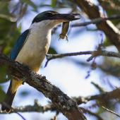 Sacred kingfisher. Adult bringing copper skink back to nest. Mt Eden, Auckland, December 2012. Image © Bruce Buckman by Bruce Buckman www.flickr.com/photos/brunonz/