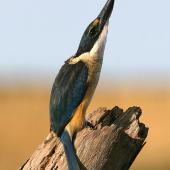 Sacred kingfisher. Alert to aerial threat. Wanganui, May 2008. Image © Ormond Torr by Ormond Torr