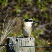 Sacred kingfisher. Immature. Wairau Bar,  Marlborough, April 2016. Image © Bill Cash by Bill Cash