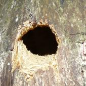 Sacred kingfisher. Close view of nest hole in tree. Aorangi Island, Poor Knights Islands, December 2011. Image © Alan Tennyson by Alan Tennyson Alan Tennyson