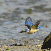 Sacred kingfisher. Adult in flight showing underwing. Bay of Islands, January 2013. Image © Brian Anderson by Brian Anderson Brian Anderson, BaPhotographic