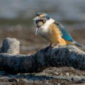 Sacred kingfisher. Immature regurgitating a pellet of crab exoskeletons. Little Waihi estuary, August 2017. Image © Tony Whitehead by Tony Whitehead www.wildlight.co.nz