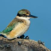 Sacred kingfisher. Immature. Bay of Islands, July 2014. Image © Tony Whitehead by Tony Whitehead www.wildlight.co.nz
