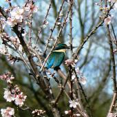 Sacred kingfisher. Adult perched in flowering almond tree. Waikato, August 2009. Image © Joke Baars by Joke Baars
