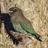 Dollarbird. Juvenile. Canberra, Australia, January 2017. Image © RM by RM