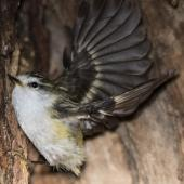 Rifleman. Adult female South Island rifleman about to take flight outside of nest. Routeburn Roadend, December 2015. Image © Ron Enzler by Ron Enzler http://www.therouteburntrack.com