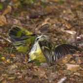 Rifleman. Female (right) and male fighting. East Branch track, Fiordland National Park, March 2017. Image © Glenda Rees by Glenda Rees http://www.flickr.com/photos/nzsamphotofanatic/https://www.facebook.com/NZBANP/