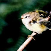 Rifleman. North Island adult on branch. Pukaha Mount Bruce, January 1998. Image © Alex Scott by Alex Scott
