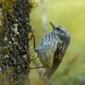 Rifleman. Juvenile South Island rifleman foraging. Nina Valley,  Lewis Pass National Reserve, February 2015. Image © Roger Smith by Roger Smith