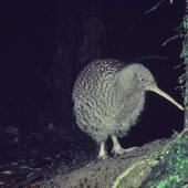 Great spotted kiwi. Adult. Mount Bruce Wildlife Centre, March 1986. Image © Department of Conservation ( image ref: 10035422 ) by Rod Morris Department of Conservation  Courtesy of Department of Conservation
