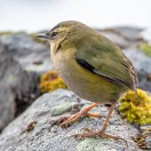 Rock wren. Adult showing natural band of dead skin on leg. Homer Tunnel, May 2018. Image © Tony Whitehead by Tony Whitehead Tony Whitehead www.wildlight.co.nz