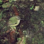 Rock wren. Adult male at nest entrance. Tutoko high bench, Fiordland, January 1978. Image © Department of Conservation (image ref: 10036515) by Rod Morris, Department of Conservation Courtesy of Department of Conservation
