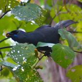 North Island kokako. Adult feeding on kawakawa fruit. Tiritiri Matangi Island, April 2010. Image © Suzi Phillips by Suzi Phillips