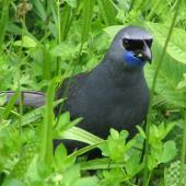 North Island kokako. Adult male feeding on the ground. Tiritiri Matangi Island, February 2005. Image © Suzi Phillips by Suzi Phillips