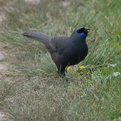 North Island kokako. Adult feeding on the ground. Tiritiri Matangi Island, December 2011. Image © Suzi Phillips by Suzi Phillips