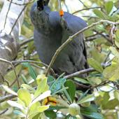 North Island kokako. Adult male eating karo fruit. Tiritiri Matangi Island, April 2013. Image © David Brooks by David Brooks