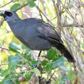 North Island kokako. Adult male eating karamu leaves. Tiritiri Matangi Island, April 2013. Image © David Brooks by David Brooks