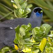 North Island kokako. Ventral view of wattles. Tiritiri Matangi Island, May 2011. Image © Glenda Rees by Glenda Rees http://www.flickr.com/photos/nzsamphotofanatic/