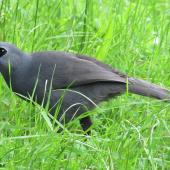 North Island kokako. Adult (Chatters) feeding on ground. Tiritiri Matangi Island, October 2015. Image © Oscar Thomas by Oscar Thomas https://www.flickr.com/photos/kokakola11/