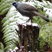 North Island kokako. Captive adult female in snow. Pukaha Mount Bruce, July 2015. Image © Tara Swan by Tara Swan www.flickr.com/mousenz