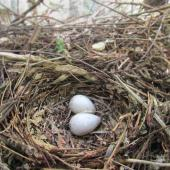 North Island kokako. Nest with 2 infertile eggs (of 3 laid by captive bird). Pukaha Mount Bruce, June 2015. Image © Oscar Thomas by Oscar Thomas https://www.flickr.com/photos/kokakola11/