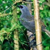 North Island kokako. Captive juvenile. Pukaha Mount Bruce, March 1998. Image © Alex Scott by Alex Scott