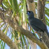 North Island kokako. Adult singing. Tiritiri Matangi Island, December 2014. Image © Sandy Abbot by Sandy Abbot https://sandyspics.wordpress.comIG@sandysviews