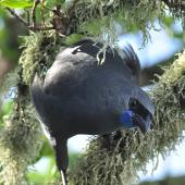 North Island kokako. Adult showing front view of wattles. Tiritiri Matangi Island, April 2010. Image © Cheryl Marriner by Cheryl Marriner http://www.glen.co.nz/cheryl