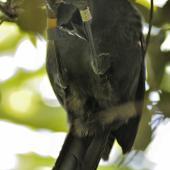North Island kokako. Adult hanging from branch. Tiritiri Matangi Island. Image © Eugene Polkan by Eugene Polkan