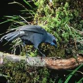 North Island kokako. Adult. Rotorua. Image © Department of Conservation (image ref: 10031416) by Dick Veitch Courtesy of Department of Conservation