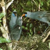 North Island kokako. Adults feeding chicks with coprosma berries. Tapu-Coroglen Road, Coromandel Peninsula, January 1979. Image © Department of Conservation (image ref: 10025051) Courtesy of Department of Conservation