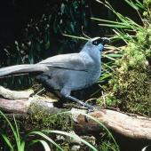 North Island kokako. Adult. Rotorua. Image © Department of Conservation (image ref: 10031415) by Dick Veitch Courtesy of Department of Conservation