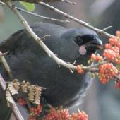 North Island kokako. Juvenile feeding on coprosma berries showing pink wattles. Boundary Stream,  Hawke's Bay. Image © Wendy Sullivan, Department of Conservation by Wendy Sullivan