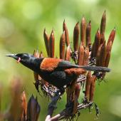 North Island saddleback. Adult perched on flax. Tiritiri Matangi Island, January 2009. Image © Duncan Watson by Duncan Watson