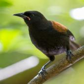 North Island saddleback. Juvenile. Tiritiri Matangi Island, February 2014. Image © Laurie Ross by Laurie Ross Courtesy Laurie Ross Photography http://laurieross.com.au/