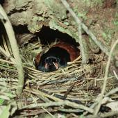 North Island saddleback. Adult female on nest. Cuvier Island, January 1979. Image © Department of Conservation (image ref: 10037614) by Dick Veitch, Department of Conservation Courtesy of Department of Conservation